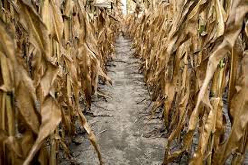 Harmonogram szacowania strat suszowych
