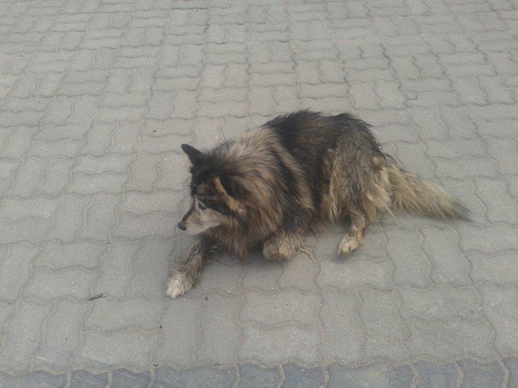 Piesek szuka właściciela