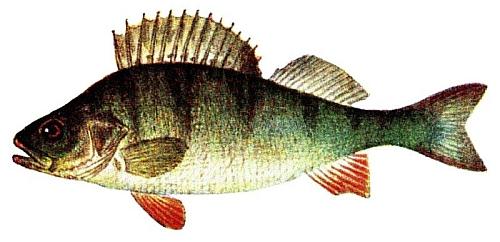 Bürstling Fisch